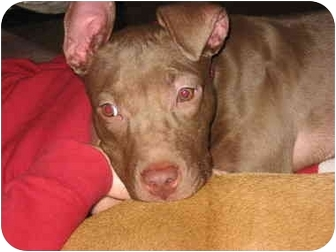 American Pit Bull Terrier Mix Puppy for adoption in Reisterstown, Maryland - Zellie