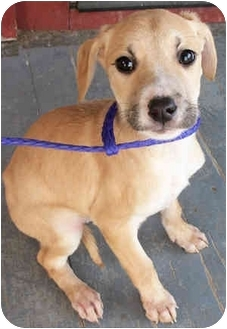 Labrador Retriever/Boxer Mix Puppy for adoption in Struthers, Ohio - Caroline