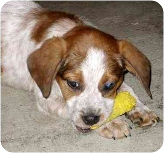 Beagle/Australian Cattle Dog Mix Puppy for adoption in Chicago, Illinois - Jewel