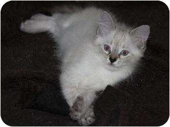 Siamese Kitten for adoption in Oxford, Connecticut - Scarlett
