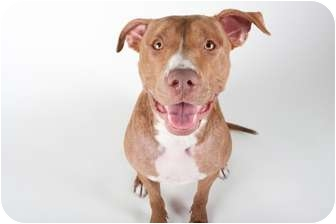 American Pit Bull Terrier Mix Dog for adoption in Medford, New Jersey - Olive