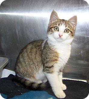 Domestic Shorthair Kitten for adoption in Dover, Ohio - Rachel