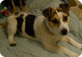 Jack Russell Terrier Mix Dog for adoption in dewey, Arizona - Peanut