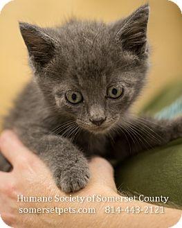 Domestic Shorthair Kitten for adoption in Somerset, Pennsylvania - Dusty