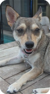 Chihuahua/Shiba Inu Mix Dog for adoption in Norwalk, Connecticut - Tandy