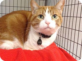 Domestic Shorthair Cat for adoption in Kalamazoo, Michigan - Oscar