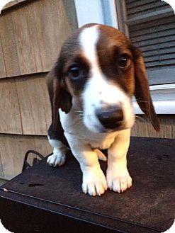 Basset Hound/Beagle Mix Puppy for adoption in Hagerstown, Maryland - Elmer T Lee