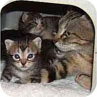 Adopt A Pet :: Swirlicurl - Dallas, TX