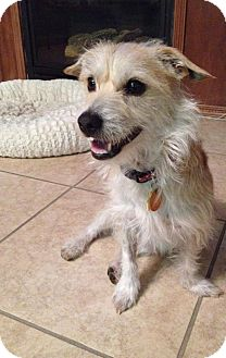 Terrier (Unknown Type, Small) Mix Dog for adoption in Las Vegas, Nevada - Rufus