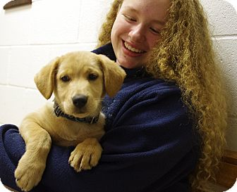 Labrador Retriever/Shepherd (Unknown Type) Mix Puppy for adoption in Elyria, Ohio - Cooper