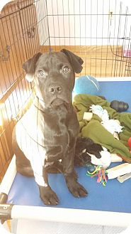 Labrador Retriever Mix Puppy for adoption in Westminster, Maryland - Max