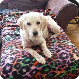 Spaniel (Unknown Type) Mix Dog for adoption in Manahawkin, New Jersey - Sadie