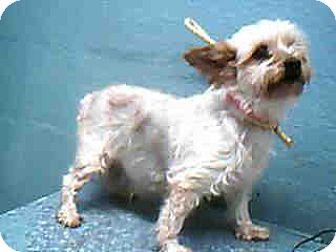 Yorkie, Yorkshire Terrier Dog for adoption in Long Beach, California - TUTTI