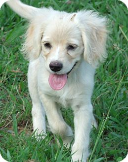 Cocker Spaniel Mix Puppy for adoption in Snohomish, Washington - Mercy, best baby cocker beauty