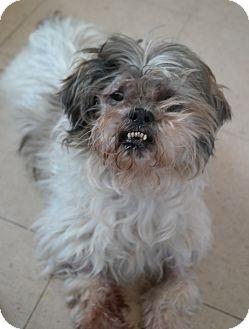Shih Tzu Mix Dog for adoption in San Pablo, California - RUDY