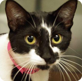 Domestic Shorthair Cat for adoption in Daytona Beach, Florida - Luna