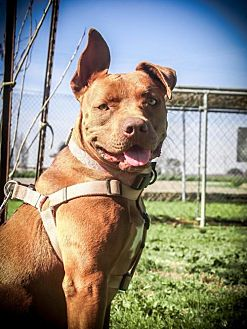 Staffordshire Bull Terrier Mix Dog for adoption in Lemoore, California - Mocha