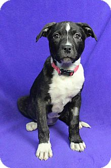 Labrador Retriever/American Pit Bull Terrier Mix Puppy for adoption in Westminster, Colorado - Imogen