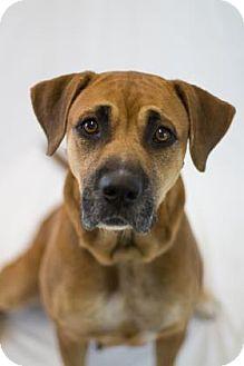 Boxer/Black Mouth Cur Mix Dog for adoption in Bradenton, Florida - Allspice