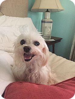 Maltese Dog for adoption in Los Angeles, California - Esme