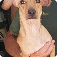Adopt A Pet :: Porkchop - Gainesville, FL