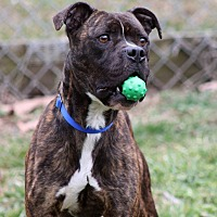 Boxer Mix Dog for adoption in Westminster, Maryland - Tigger
