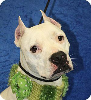 Pit Bull Terrier Mix Dog for adoption in Jackson, Michigan - Jason