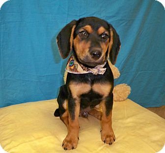 Beagle/Rottweiler Mix Puppy for adoption in Poteau, Oklahoma - CANNON