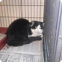Domestic Longhair Cat for adoption in Columbia, Kentucky - Izzy