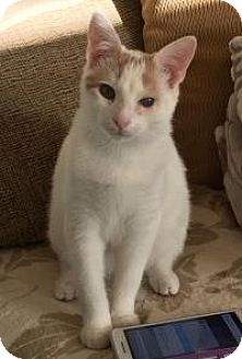 Domestic Shorthair Kitten for adoption in East Hanover, New Jersey - Albert - Sweetheart