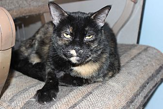 Domestic Shorthair Cat for adoption in Battle Creek, Michigan - Tori