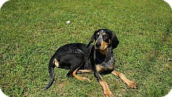 Bluetick Coonhound Mix Dog for adoption in Oxford, Connecticut - Nellie