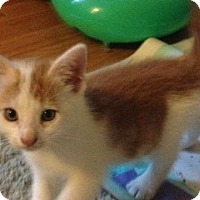 Adopt A Pet :: Bobcat - Trenton, NJ