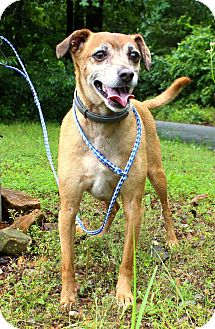 Italian Greyhound/Chihuahua Mix Dog for adoption in East Hartford, Connecticut - Guido in CT