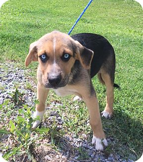 German Shepherd Dog/Australian Cattle Dog Mix Puppy for adoption in Spring Valley, New York - Thomas