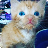 Adopt A Pet :: Bam Bam - Miami Shores, FL