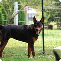 Adopt A Pet :: Kolbi - Nashua, NH