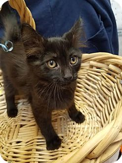 Domestic Mediumhair Kitten for adoption in China, Michigan - Actor