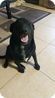 Labrador Retriever Mix Dog for adoption in Las Vegas, Nevada - May