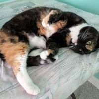 Adopt A Pet :: Peaches - Fairfax, VA