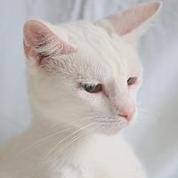 Adopt A Pet :: Vanilla - Spring Valley, NY