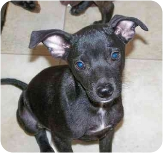 Italian Greyhound/Belgian Malinois Mix Puppy for adoption in Franklin, Virginia - Taco