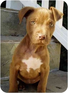 American Staffordshire Terrier Puppy for adoption in West Los Angeles, California - Rudi