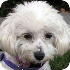 Bichon Frise Mix Dog for adoption in La Costa, California - Mia