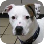 American Bulldog Mix Dog for adoption in Eatontown, New Jersey - Ringo