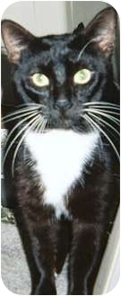 Domestic Shorthair Cat for adoption in Tampa, Florida - Jenkins