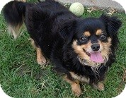 Chihuahua Mix Dog for adoption in Tustin, California - Angelina