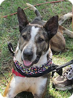 Catahoula Leopard Dog/Hound (Unknown Type) Mix Dog for adoption in West Bridgewater, Massachusetts - Jerri
