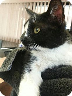 Domestic Mediumhair Cat for adoption in Scottsdale, Arizona - Nubbs (courtesy post)
