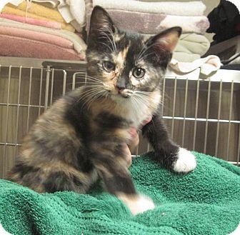 Calico Kitten for adoption in Buford, Georgia - Clarissa-$70.00